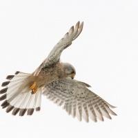 Faucon crécerelle, étangs de Saclay