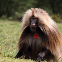 Babouin Gelada Ethiopie