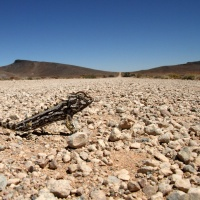 Caméléon crossing Namibie